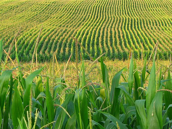 Corn farm in central Pennsylvania. Photo: fishhawk via Flickr (CC BY).