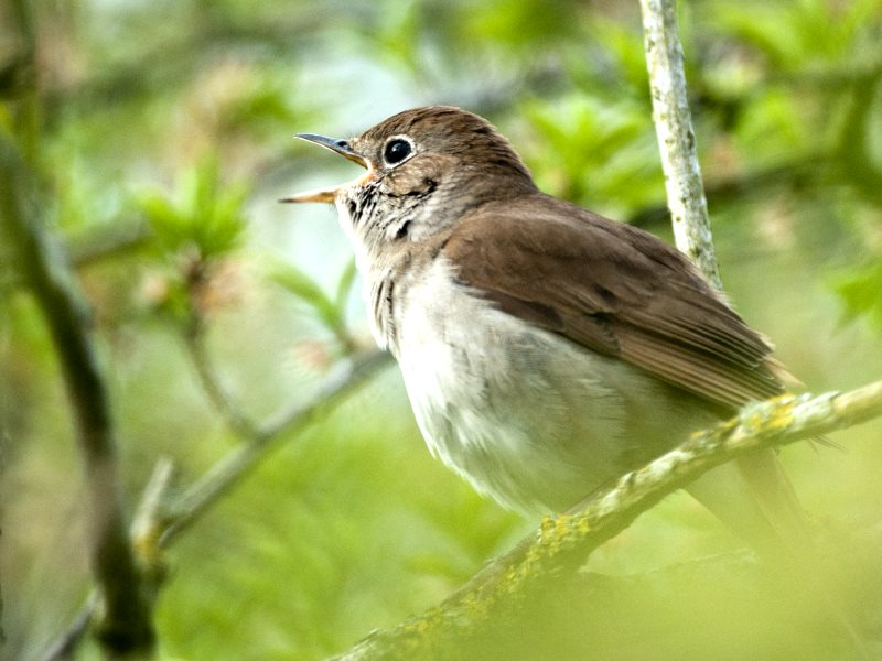 A nightingale in full song. Photo: courtesy of David Plummer Images.