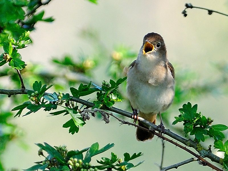 Nightingale in full song, perched in a hawthorn bush. Photo: Kev Chapman via Flickr (CC BY).