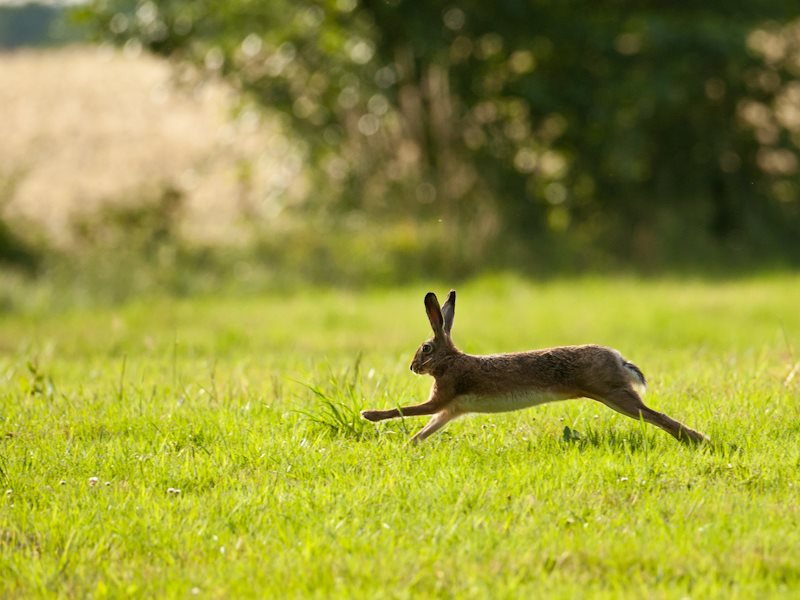 Hares beware - a early action of the new Conservative government is expected to be a repeal of the Hunting with Dogs Act, opening the way to hare-coursing in the English countryside. Photo: oneshotonepic via Flickr (CC BY-NC-SA).