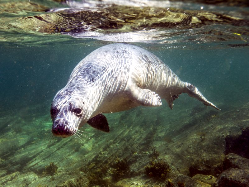 Swimming seal at Barrel of Butter, Scapa Flow, Scotland. Photo: Dafydd Thomas via Flickr (CC BY-NC-SA).