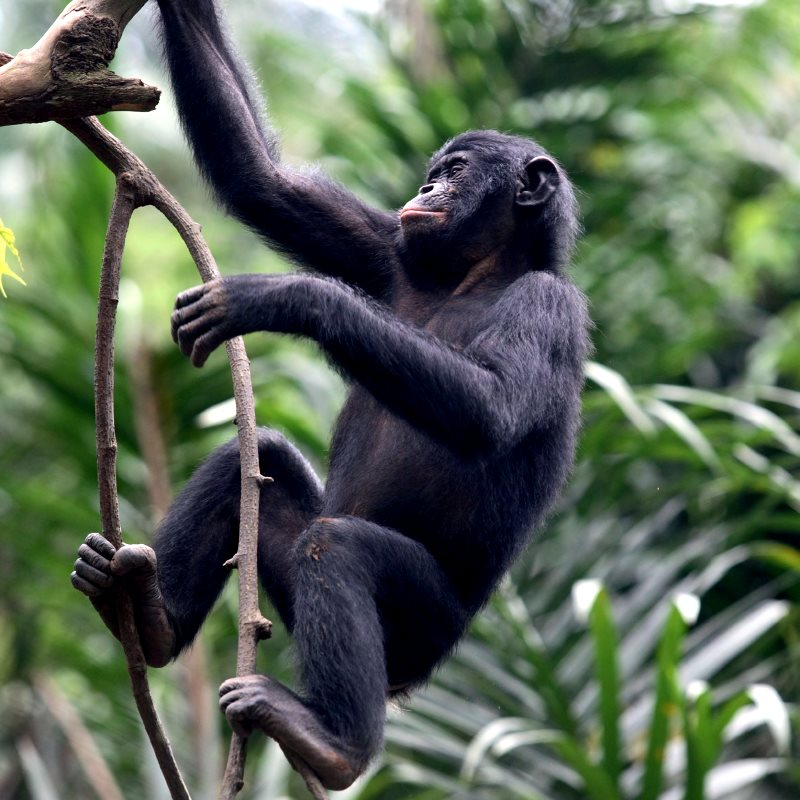 A young Bonobo: the species is at riosk as logging in the Congo Basin fragments their forest habitat and opens up new areas to poachers. Photo: via Greenpeace.