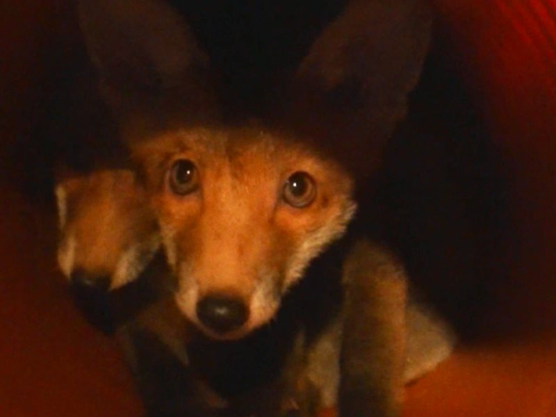 Captive foxes held in a 'fox farm' barn as discovered by investigators. Photo: League Against Cruel Sports.