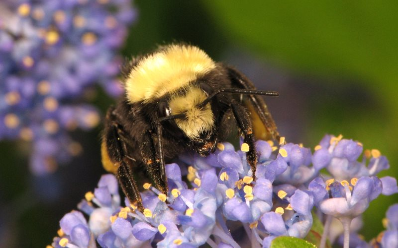 The North American bumblebee Bombus vosnesenskii in Vancouver, Canada. Photo: Sean McCann via Flickr (CC BY-NC-SA).