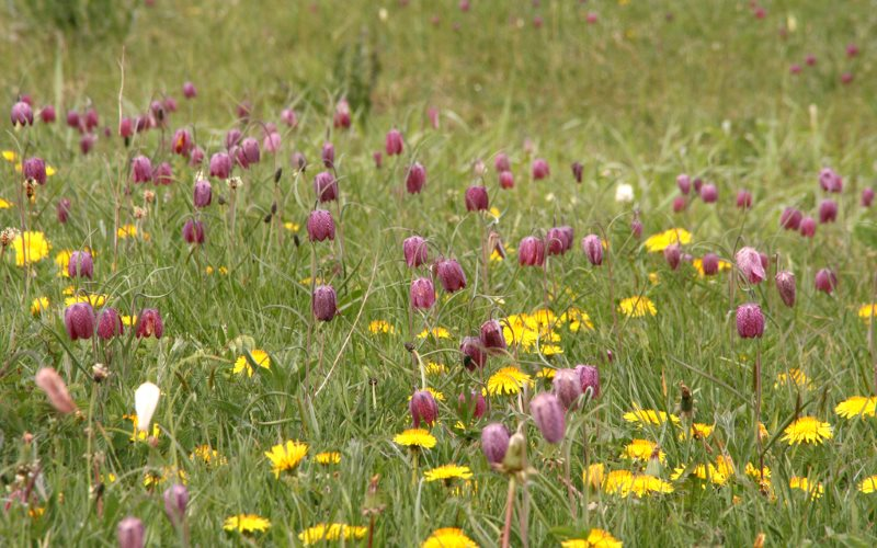 Now it could be fracked: North Meadow, a traditional uncultivated water meadow of 110 acres, contains 80% of the UK population of the Snakeshead Fritillary. Photo: Nick Warner via Flickr (CC BY-NC-SA).