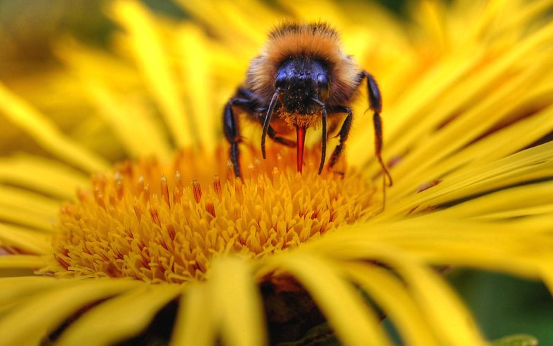 A bumblebee pauses on an Inula Magnifica. Photo: Tom Blackwell via Flickr (CC BY-NC).