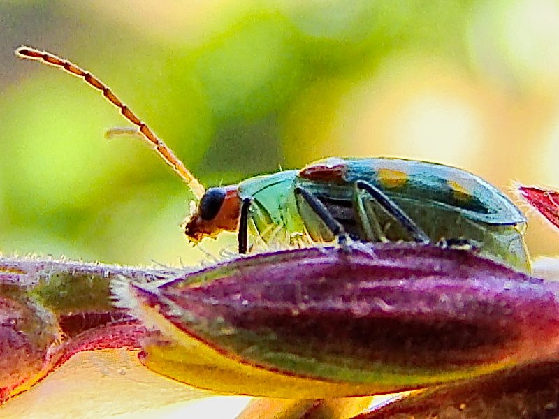 A beetle on a male corn flower. Photo: Flávio Jota de Paula via Flickr (CC BY-NC-SA).
