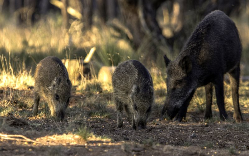 Do wild boar eat in the woods? Photo:  bzd1 via Flickr (CC BY-NC-ND).