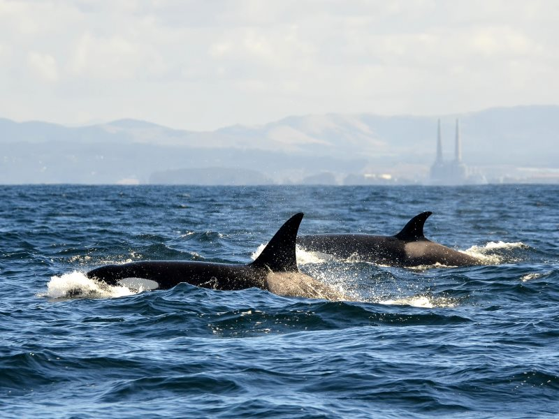 Killer Whales in Monterey Bay, California - helping to sequester the carbon emissions from those smokestacks in the background. Photo: © John Krzesinski 2012 via Flickr (CC BY-NC-ND).