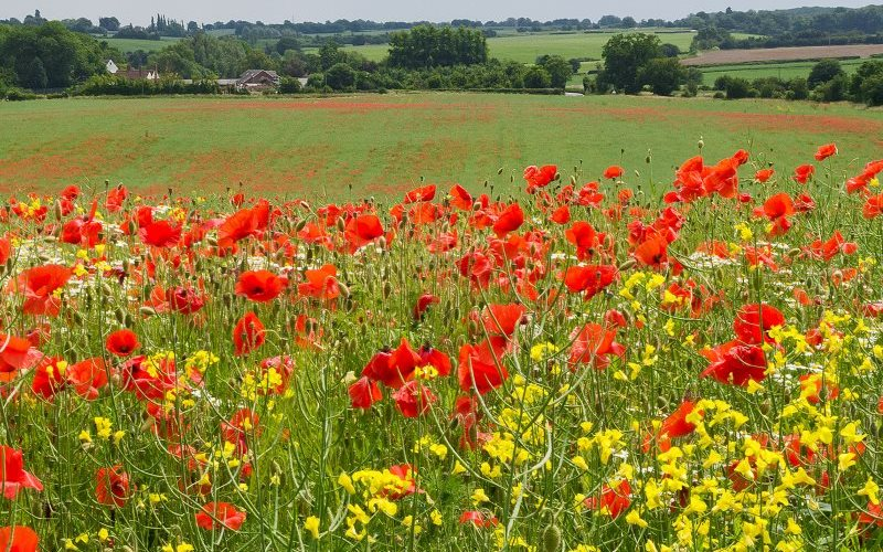 Wild Poppies flowering on edge of a wheat field in Essex. Beautiful - what about the bees? Photo: ukgardenphotos via Flickr (CC BY-NC-ND).
