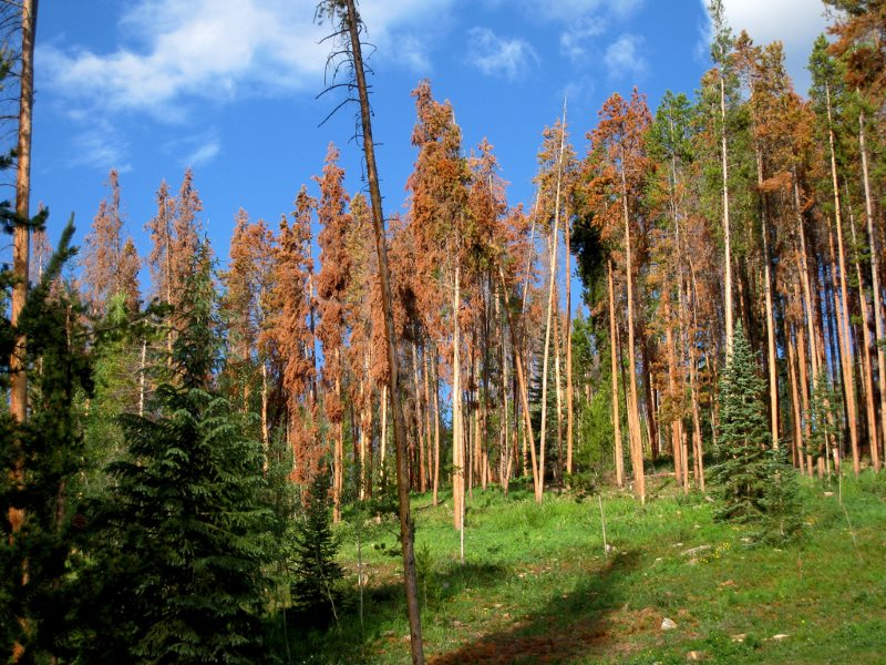 Victims of the pine bark beetle: Lodgepole pines in Summit County, Colorado. They may not look pretty, but these dead trees are an ecological godsend. Photo: V Smoothe via Flickr (CC BY).