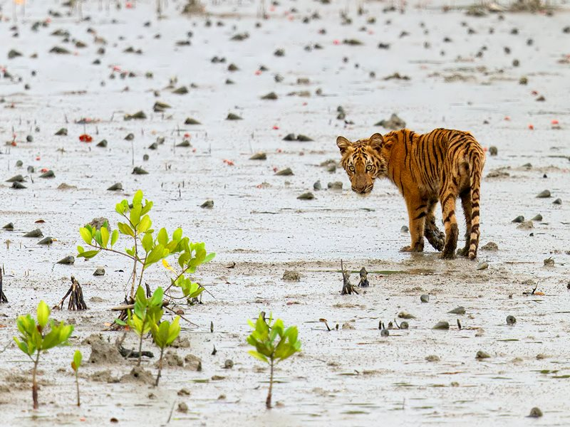 Tiger cub on the Sundarbans, Bangladesh. Photo: Arindam Bhattacharya via Flickr (CC BY-NC-SA).