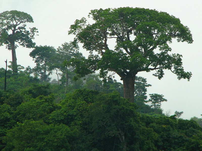 Forest-based offsets are intended to save carbon-rich forests like these. But sadly, they can equally reward people for destroying them to create palm oil plantations. Photo: Shannan Mortimer via Flickr (CC BY-NC-SA).