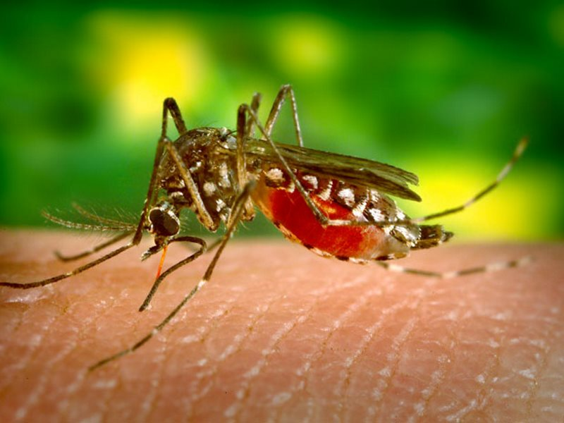 Aedes Aegypti mosquito feeding on human blood. Photo: James Gathany via jentavery on Flickr (CC BY).