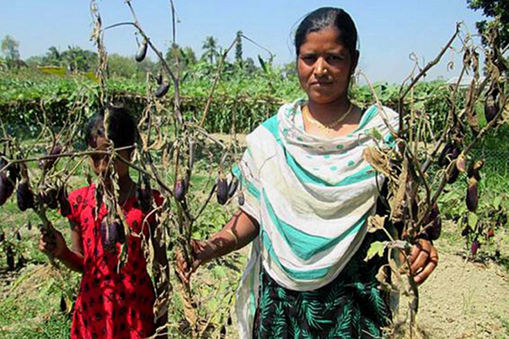 In 2014 many GM Bt brinjal plants either died out prematurely or fruited insignificantly compared to locally available varieties, bringing financial ruin to their cultivators. Photo: New Age (Bangladesh).