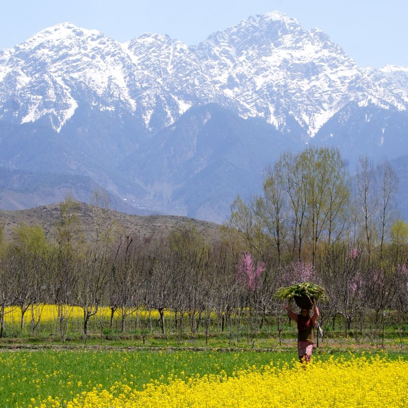 A farmer at work in her mustard field in Kashmir, India. Photo: Rajesh Pamnani via Flickr (CC BY-NC-DD).