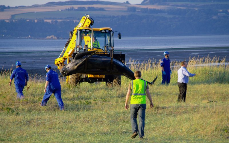 Beached whale in the Firth of Forth, Scotland, being removed using earth-moving equipment, September 2013. Photo: Patrick Down via Flickr (CC BY-NC).