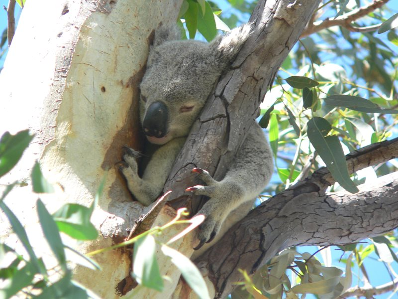 Koala bears, like this one at Arcadia Bay, Queensland, Australia, are among the many species suffering from the state's large-scale land clearance. Photo: Richard Gifford via Flickr (CC BY).