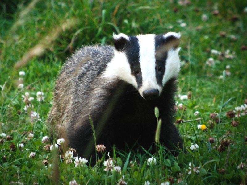 British badger - will the BVA's Animal Welfare Strategy provide any protection? Photo: Ian Usher via Flickr (CC BY-NC-SA).