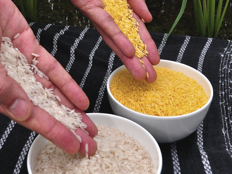 Spot the difference! Golden rice and ordinary rice. Photo: International Rice Research Institute (IRRI) via Wikimedia Commons (CC BY).