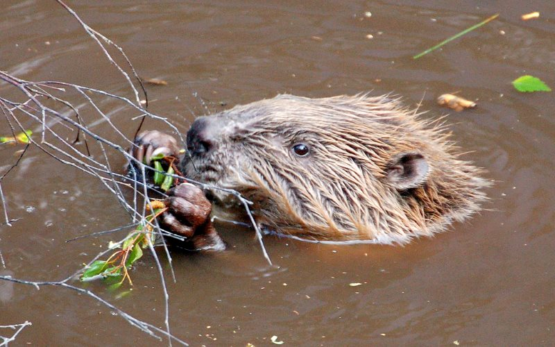 Scottish beaver seen in 2008. Photo: Paul Stevenson via Flickr (CC BY).