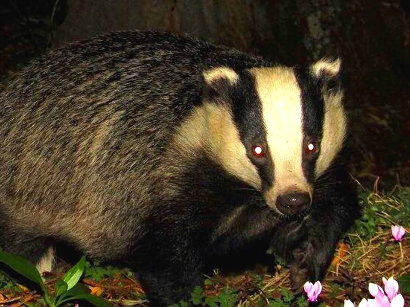 Badger trying to keep out of trouble in the Somerset cull area, September 2015. Photo: Somerset Badger Patrol via Facebook.