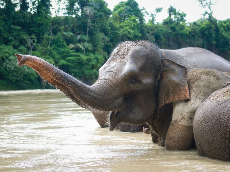 Sumatran elephant at Tangkahan, Sumatra, Indonesia. The species' native rainforest habit is fast giving way to thousands of square miles of palm oil plantation. Photo: Vincent Poulissen via Flickr (CC BY-SA).