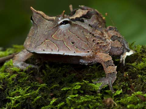 An Amazon horned frog in Cristalino State Park, Brazil.  © Daniel Beltra, courtesy of The Prince's Rainforests Project and Sony