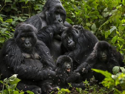 virunga national park essay Virunga is a 2014 british documentary film directed by orlando von einsiedel it  focuses on the conservation work of park rangers within the congo's virunga  national park.