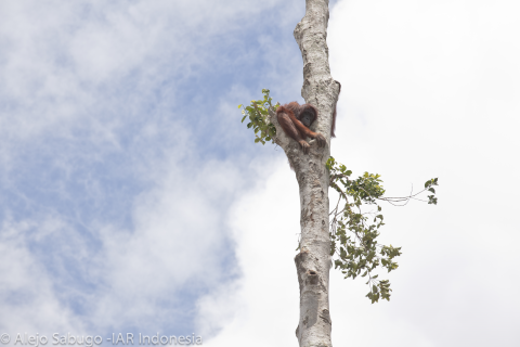 An orang utan seeks refuge in a lone surviving tree.