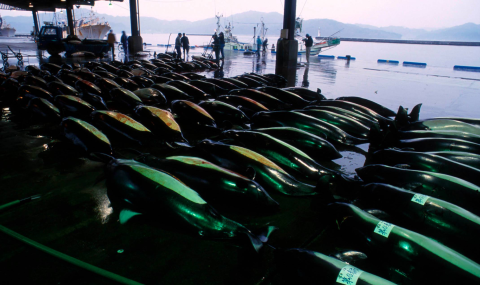 Dall's porpoise laid out for auction at the fish market in Otsuchi.