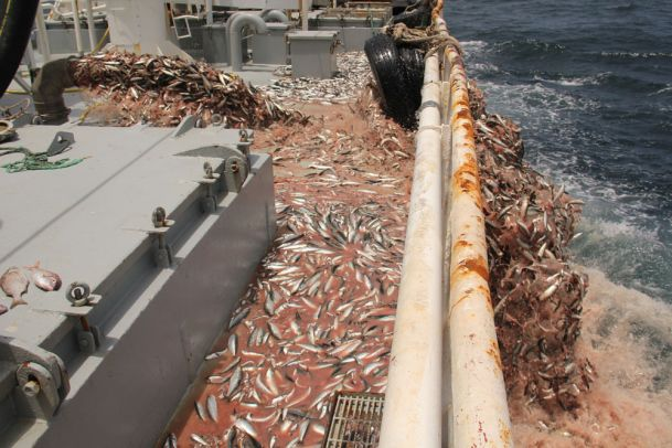 Sardine discards from the Adrar in Western Sahara's territorial waters. Photo: Western Sahara Resource Watch.