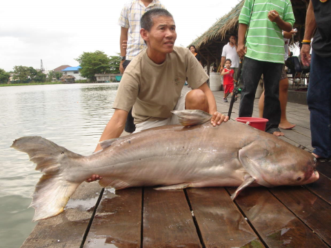 Mekong Giant Catfish, Photo: John Tom / http://johntom.wordpress.com/tag/carp/