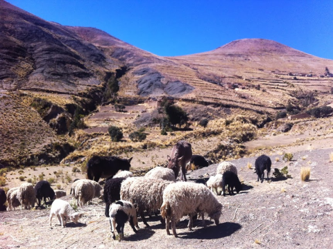 Sheep grazing, lower Lancaya. Photo: Sian Cowman.