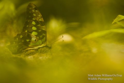 Butterly in the Sabangau Forest. Photo: Matt Adam Williams / OuTrop