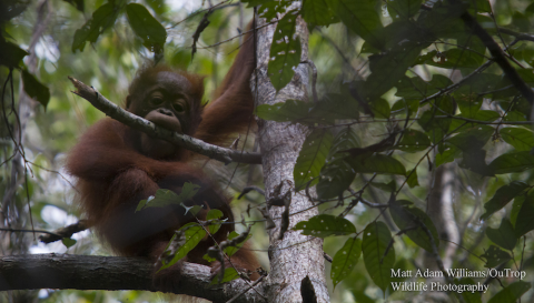 Young orangutan in the Sabangau Forest. Photo: Matt Adam Williams / OuTrop