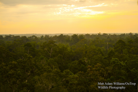 Sabangau Forest panorama. Photo: Matt Adam Williams / OuTrop