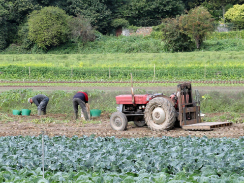 The last of the Jersey Royals - mixed farming at St Aubin, Jersey. Photo: hazelisles via Flickr.com.