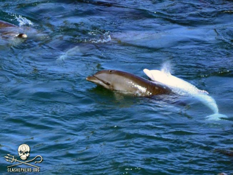 A rare - and sought after for capture - albino dolphin later captured at Taiji. Photo: Sea Shepherd.