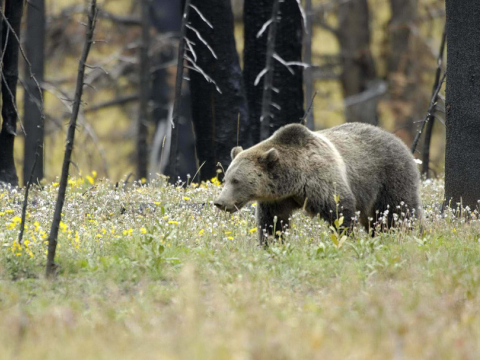 Grizzly walking in flowers, Yellowstone National Park. Photo: Terry Tollefsbol / FPWC,