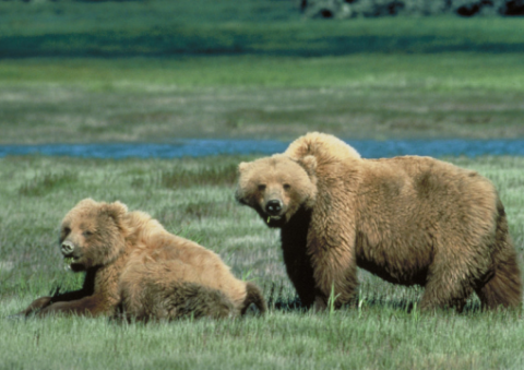 Wild grizzlies, USA. Photo: USFWS.