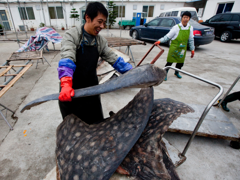 Whale shark fins in the factory yard. Photo: WildLife Risk.