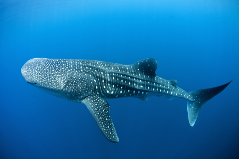 Whale shark - swimming free in the ocean. Photo: WildLife Risk.