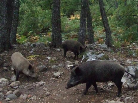 Dundreggan's herd of Wild boar preparing seedbeds for trees as they grub for roots and worms. TFL wants them reintroduced to Scotland, where they've been extinct for centuries. Photo: Philip Mason.