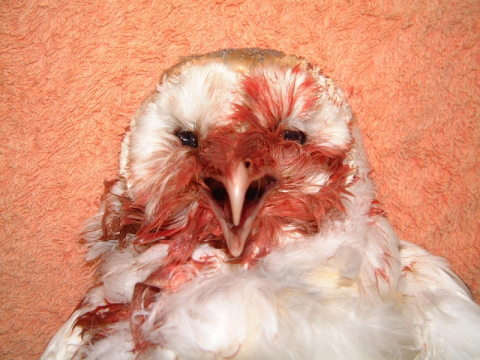 A British barn owl killed by rodenticide, ingested in its prey. Photo: Barn Owl Trust.
