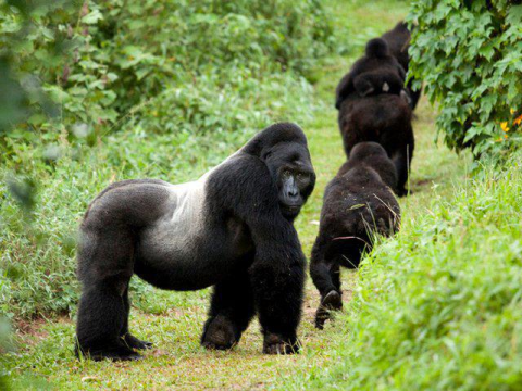 Gorillas in the Volcanoes National Park, Rwanda. Photo: Ian Redmond.