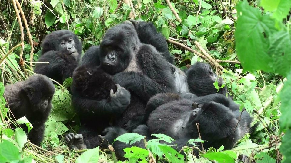 Gorilla family in the Volcanoes National Park, Rwanda. Photo: Ian Redmond.
