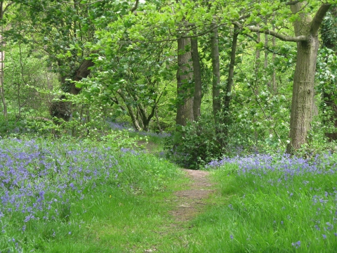 Carr Wood, a bluebell wood with a carpet of flowers in spring, is in the path of the planned A555 'relief road'. Photo: Joanna Hulme