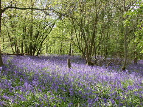 Ancient woodland on the Hucking Estate. Photo: Stewart Cooper / Woodland Trust.