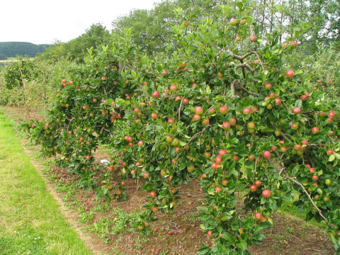 Apple trees at the Co-op's Tillington Fruit Farm. Photo: Clare_and_Ben via Flickr.com.